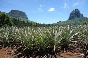 Hiking through a pineapple plantation