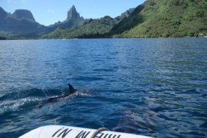 Playing with dolphins in Moorea