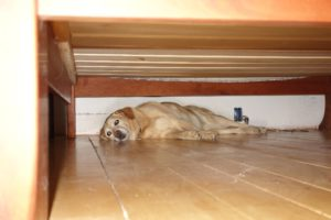 Jenny, the dog we currently pet sit, sleeps under the bed and has a hard time getting up in the morning... She's 12.